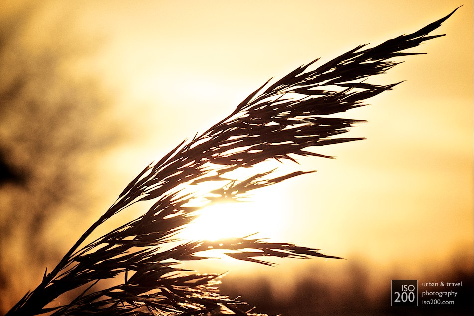 Tall grass waves in the wind at sunset in along the banks of the River Zaan in a semi-rural part of the Netherlands.